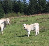 stock photo of charolais  - A charolais cow watches her young calf in a pasture - JPG
