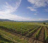 stock photo of former yugoslavia  - Under a blue sky a lush field of grape vines for wine grows near Negotino Macedonia the former Yugoslavian republic - JPG