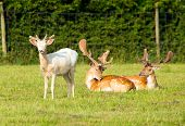 image of albinos  - Albino and red deer in the New Forest Hampshire England - JPG