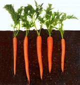 picture of rich soil  - Organic carrots growing in rich dark dirt - JPG