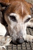 stock photo of forlorn  - A closeup of the head of a sad looking brown white and grey old jack russell