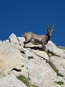 Alpine Ibex Looking Down At Me