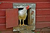 picture of hen house  - The chicken is standing in the doorway of the hen house and is ready to explore the outdoors - JPG