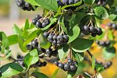 Black ashberries (Aronia melanocarpa)