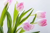image of dainty  - Symbolic seasonal spring background of dainty pink tulips with fresh green leaves and copyspace with focus to the flowers - JPG