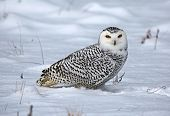 picture of snowy owl  - A Snowy Owl  - JPG