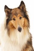 stock photo of collie  - Rough Collie or Scottish Collie isolated over white background - JPG
