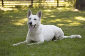 stock photo of swiss shepherd dog  - White Swiss Shepherd is laying on grass - JPG