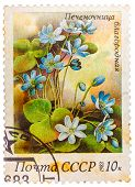 Stamp Printed In Ussr (cccp, Soviet Union) Shows Anemone Hepatica (liverwort, Kidneywort Or Pennywor