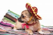 Chihuahua puppy wearing Mexican hat and red collar