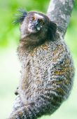 picture of marmosets  - Common marmoset or White-eared marmoset (Callithrix jacchus); New World monkey