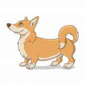 picture of corgi  - Welsh corgi terrier light - JPG