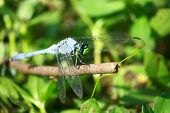 pic of stick-bugs  - Close up of blue colored dragonfly bug - JPG