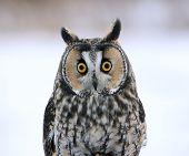 image of snowy owl  - A Long - JPG