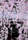 picture of weeping  - Weeping sakura with japanese temple - JPG