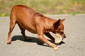 stock photo of miniature pinscher  - Miniature Pinscher eat meat in the park - JPG