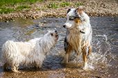 stock photo of herding dog  - A Little White Dog barks an Australian Shepherd in the water - JPG