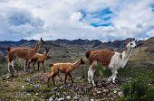 picture of lamas  - Lamas Family In El Cajas National Park - JPG