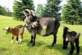 stock photo of eat grass  - Two baby goats and their mother on a farm are outside grazing and eating grass - JPG