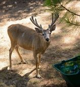 pic of blacktail  - Black - JPG