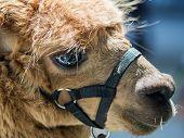 pic of alpaca  - close up look of eye reflection of brown alpaca - JPG