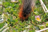 picture of moth larva  - garden tiger moth caterpillar in the grass