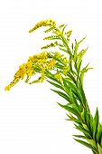 image of goldenrod  - Flowering plant Canada goldenrod it is isolated on a white background - JPG