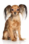 picture of white terrier  - Russian long haired Toy Terrier in front of white background - JPG