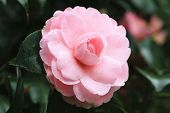 picture of raindrops  - Camellia flower and raindrop - JPG