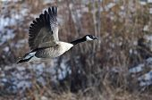 picture of snow goose  - Canada Goose Flying Over a Winter River - JPG
