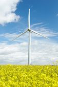 pic of rape-seed  - Wind Turbine In Field Of Oil Seed Rape - JPG