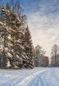 stock photo of conifers  - Winter forest with conifer trees and ski - JPG
