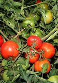 stock photo of tomato plant  - Tomato plant - JPG