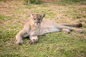 image of cougar  - this is puma or cougar in zoo - JPG