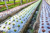 image of hydroponics  - Organic hydroponic vegetable cultivation farm in a row