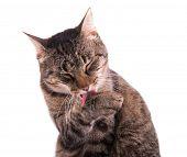 picture of grooming  - Tabby cat grooming herself - JPG
