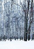 foto of birchwood  - bare oak tree in birch grove in cold winter day - JPG