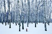 stock photo of birchwood  - frozen birch forest in cold winter day - JPG
