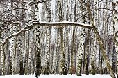 image of birchwood  - snow covered branch and birch woods in winter - JPG