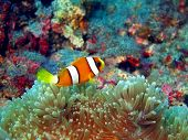 foto of clown fish  - The surprising underwater world of the Bali basin - JPG
