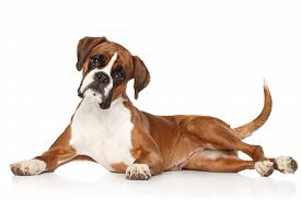 stock photo of boxers  - Boxer dog lying on a white background - JPG