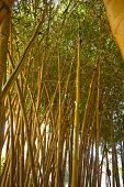 stock photo of bamboo forest  - bamboo forest - JPG