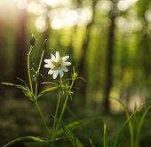 picture of windflowers  - Wild flower in green forest on sunset light - JPG