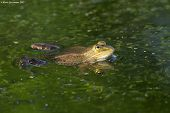 pic of edible  - Edible or common water frog  - JPG