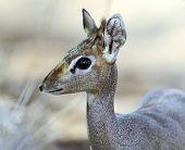 picture of dick  - Dik Dik gazelle in the savannah of Africa - JPG