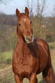 picture of chestnut horse  - Portrait of nice chestnut horse looking at you  - JPG