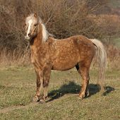 pic of pony  - Adorable pony standing on pasturage in autumn - JPG