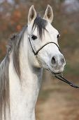 image of arabian horse  - Portrait of amazing arabian horse with show halter in autumn - JPG