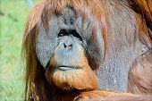 image of rainforest animal  - The orangutans - JPG