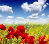 stock photo of nubian  - red poppy and wild flowers - JPG